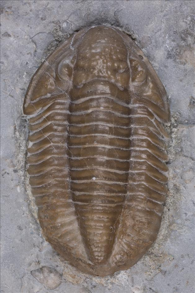 Picture of Ameropiltonia lauradanae