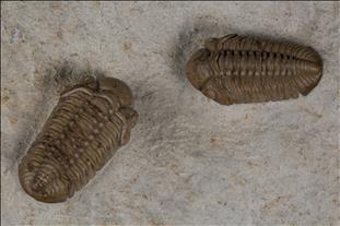 Picture of Paciphacops campbelli pair